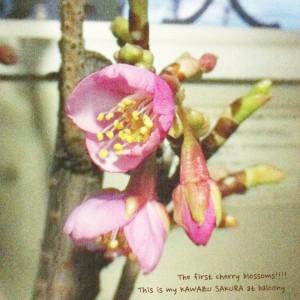 2011年1月27日に咲いた河津桜