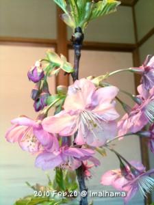 2010年購入当時の河津桜