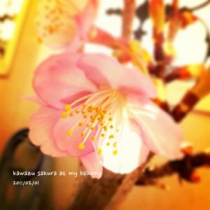 2011年2月1日の河津桜